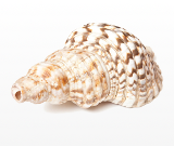 conch_shell3.png